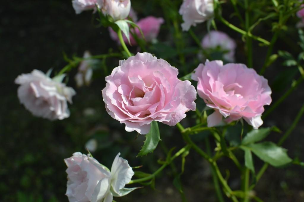 ピンクのバラ 上から