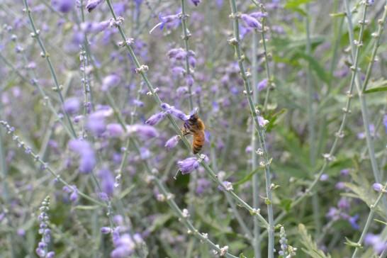蜜を吸うミツバチ