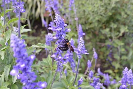 クマバチに少し接近