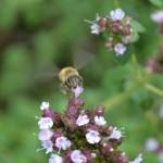 飛ぶミツバチを正面から