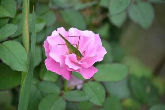 ピンクのバラにツユムシ