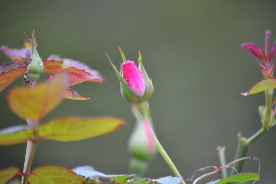 別角度からバラのつぼみ