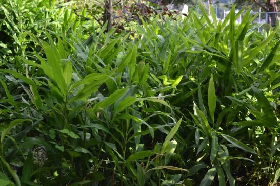 ミョウガという植物