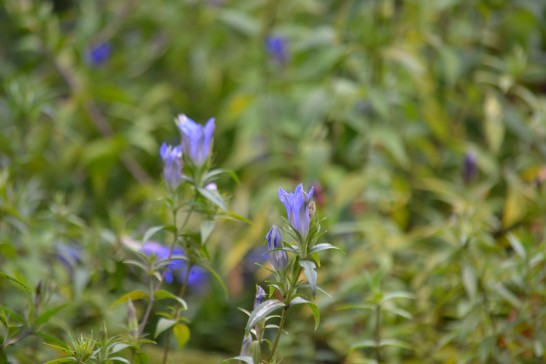 咲き始めは淡いブルー