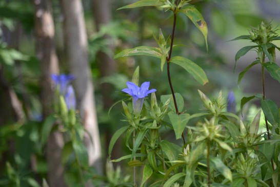 木陰に咲くりんどうの花
