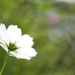 光を放つかのような白い花
