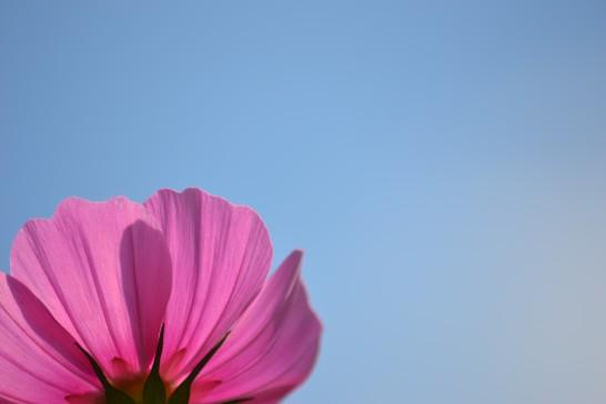 青空に映えるピンクのコスモス