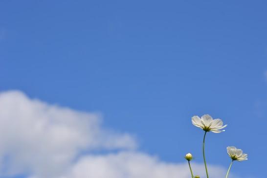 秋晴れの空に白いコスモス