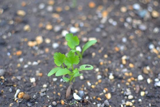 葉に穴のあいた畑パクチー