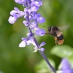 花に飛んできたオオマルハナバチ