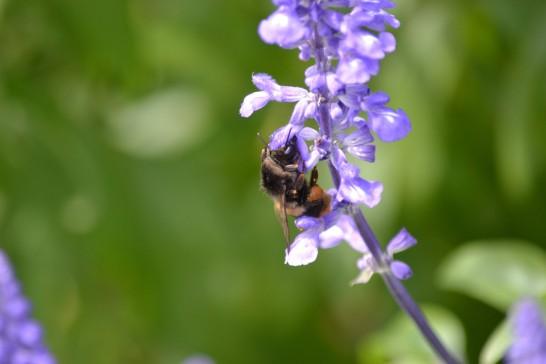 蜜を吸うオオマルハナバチ