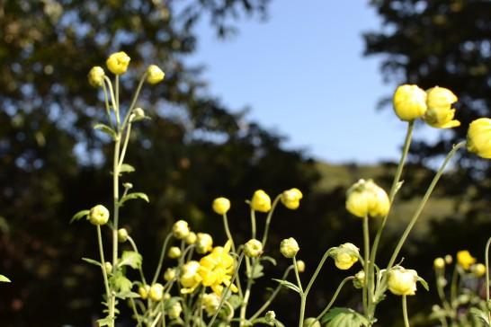 つぼみが可愛い菊の写真