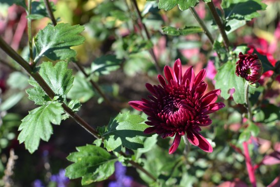 ワインレッドカラーの菊