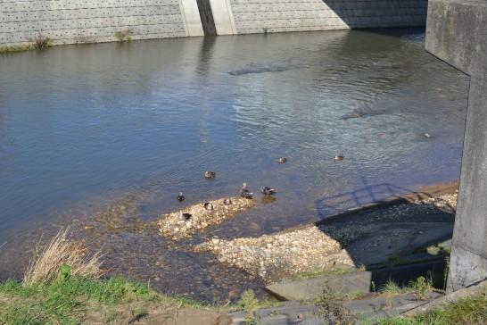 カモがいる川