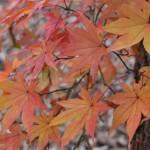 まだ紅葉が美しい!奥入瀬の写真を貼っていくよ。